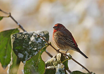 Photograph - Finch Perching by Sandy Keeton