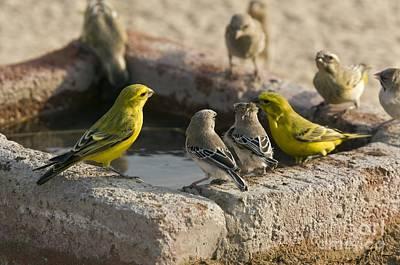 Finches Feeding At A Waterbath Art Print