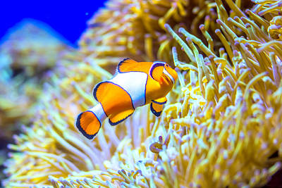 Clown Fish Photograph - Finding Nemo by Jijo George