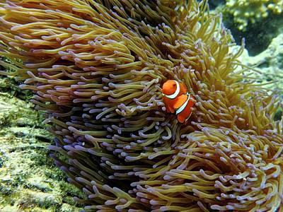 Finding Nemo. Art Print by Keith Harkin