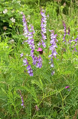 Romanian Photograph - Fine-leaved Vetch (vicia Tenuifolia) by Bob Gibbons