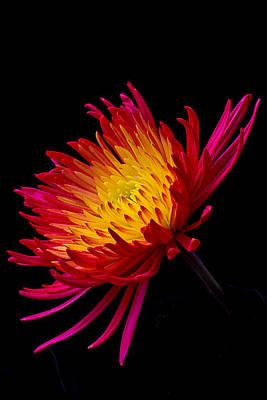 Chrysanthemums Photograph - Fire Mum by Garry Gay
