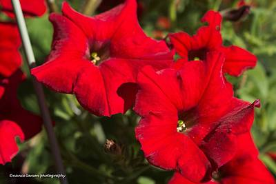 Photograph - Fire Red Petunias by Nance Larson