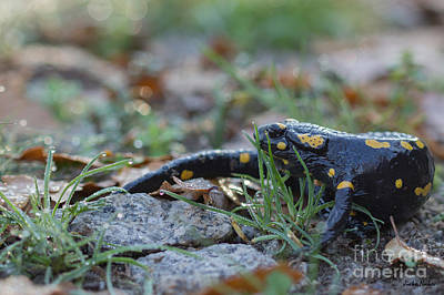 Fire Salamander Photograph - Fire Salamander Autumn Morning by Jivko Nakev