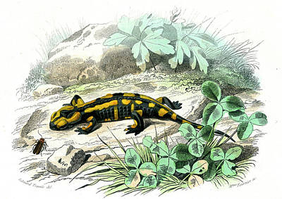 Salamanders Wall Art - Photograph - Fire Salamander by Collection Abecasis/science Photo Library