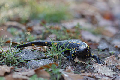 Fire Salamander Photograph - Fire Salamander Fog Droplets by Jivko Nakev