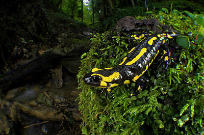 Salamanders Photograph - Fire Salamander (salamandra Salamandra by Andres Morya Hinojosa