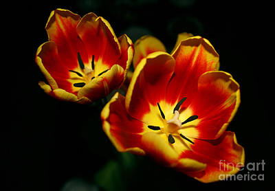 Nikki Vig Royalty-Free and Rights-Managed Images - Fire Tulip Flowers by Nikki Vig