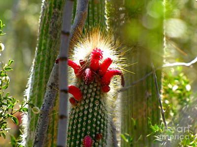 Marilyn Photograph - Firecracker Cacti by Marilyn Smith