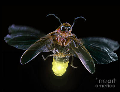 Photograph - Firefly by Darwin Dale