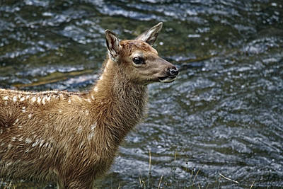 Elk Hide Photograph - Firehole River Elk Fawn by Wes and Dotty Weber