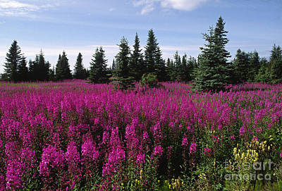 Photograph - Fireweed Alaska by Craig Lovell