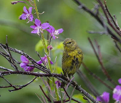 Photograph - Fireweed And Me by Doug Lloyd