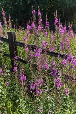 Split Rail Fence Photograph - Fireweed  Chamerion Angustifolium by Doug Lindstrand