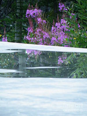 Dainty Daisies - Fireweed doused by Brian Boyle