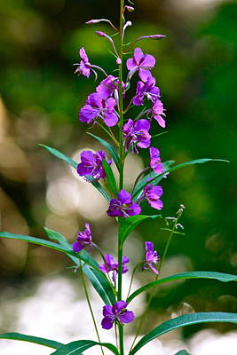 Photograph - Fireweed by Karon Melillo DeVega