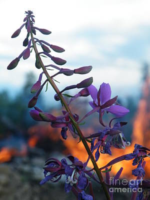Photograph - Fireweed Number Five by Brian Boyle
