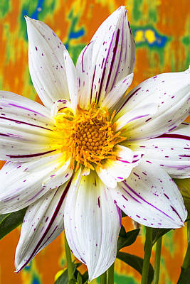Fireworks Dahlia White And Pink Art Print by Garry Gay
