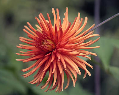 Photograph - Firey Dahlia by Chris Anderson