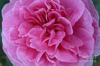 Photograph - First Autumn Rose II by Amanda Holmes Tzafrir