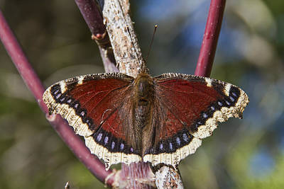 Photograph - First Butterfly Of Spring by Peggy Collins