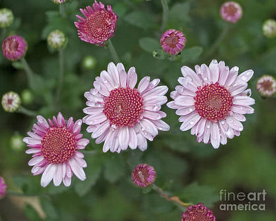 Photograph - First Fall Flowrs In The Garden by Ann Jacobson