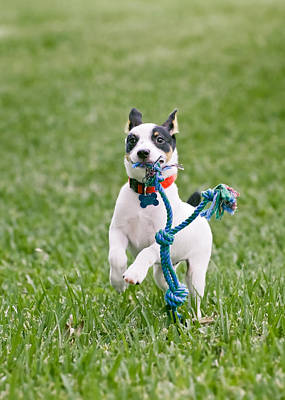 Rat Terrier Photograph - First Fetch by Patrick M Lynch