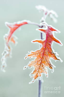 Red Leaf Photograph - First Frost by Lucid Mood