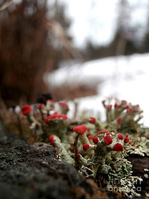First Lichen Blossom Of The Year Art Print by Steven Valkenberg
