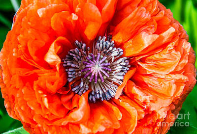 Photograph - First Poppy by Cheryl Baxter