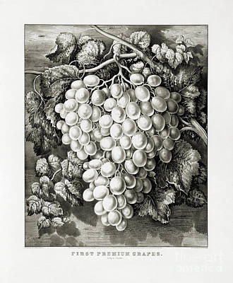 Grape Leaves Drawing - First Premium Grapes - A Royal Cluster - 1865 by Pablo Romero