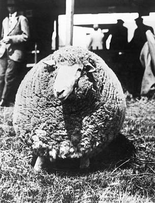 Ashford Photograph - First Prize Winning Sheep by Underwood Archives