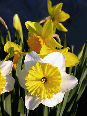 Daffodils Photograph - First Sign     Spring Daffodils by Sindi June Short
