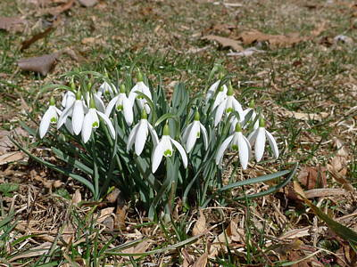 Photograph - First Snowdrops by Richard Reeve