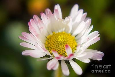 Photograph - First Spring Daisy by Tyra  OBryant