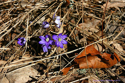 Photograph - First Spring Flowers by Leena Pekkalainen