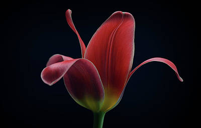 Macro Photograph - First Tulip by Lotte Gr?nkj?r