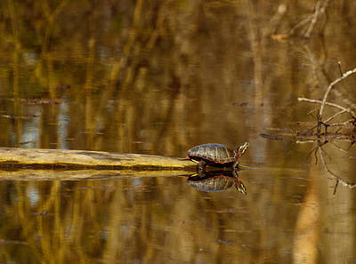 Painted Turtle Wall Art - Photograph - First Turtle by Thomas Young
