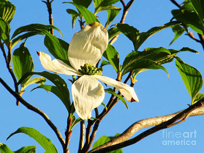 Firefighter Patents Royalty Free Images - First White Dogwood Flower to Bloom Royalty-Free Image by Tina M Wenger