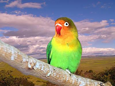 Photograph - Fischers Lovebird by David Rich