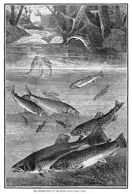 Speckled Trout Drawing - Fish, 1880 by Granger