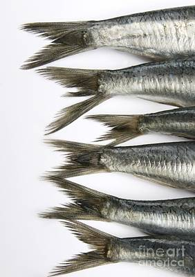 In A Row Photograph - Fish by Bernard Jaubert