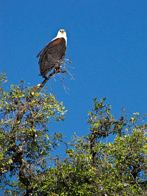 Photograph - Fish Eagle by Karen E Phillips