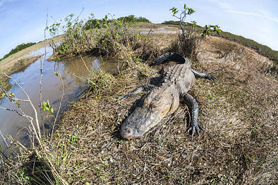 Photograph - Fish-eye Portrait Of Alligator In Everglades by Alex Potemkin