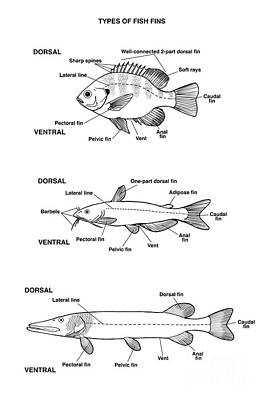 Dorsal Fin Photograph - Fish Fin Types, Illustration by Carlyn Iverson