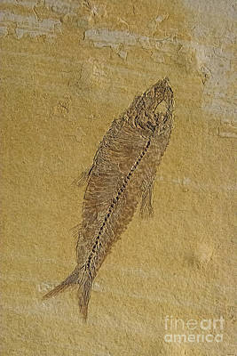 Triassic Photograph - Fish Fossil by Chris Thaxter