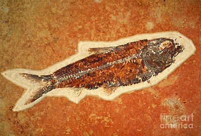 Photograph - Fish Fossil by Scott Camazine