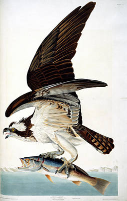 Fish Hawk Art Print