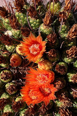 Photograph - Fish Hook Barrel Cactus by Joe Kozlowski
