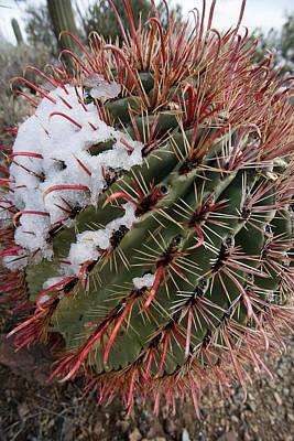 Fish Hook Barrel Cactus With Snow Art Print by Susan  Degginger